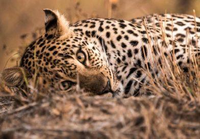 Boy, 18, Dies After Leopard Attacks Him In Jammu And Kashmir's Kathua